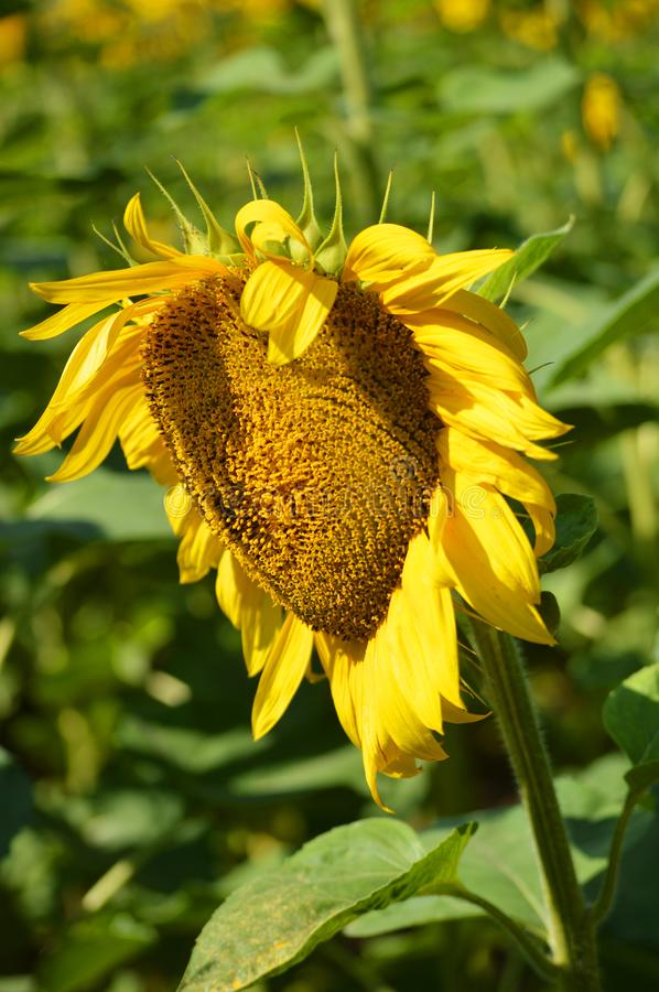 Heart shaped sunflower. Romantic flower. Creative nature stock photo