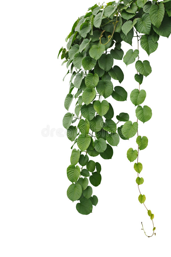 Heart-shaped thick green leaf wild vines, hanging climber vine b royalty free stock photo