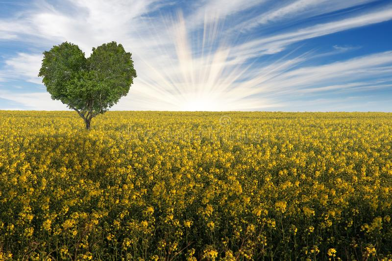 Heart shaped tree on a yellow flowering canola rape field. Green heart shaped tree on a yellow flowering rape field with rising sun royalty free stock images