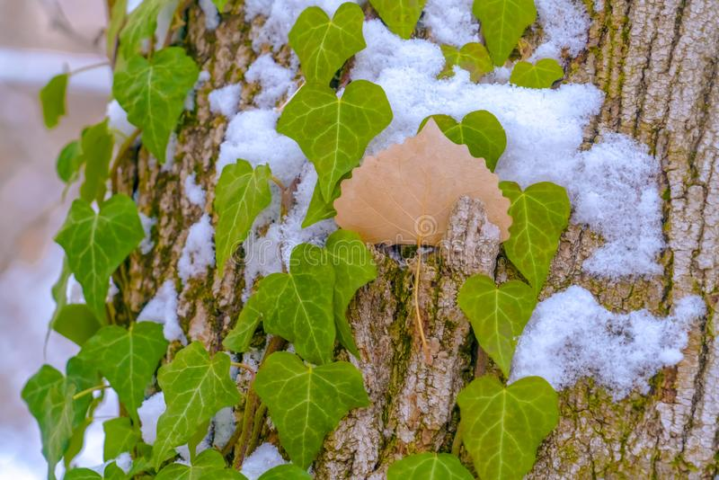 Heart shaped vines growing on the brown trunk of a tree with algae and snow. Nature scenery at a forest viewed on a sunny winter day royalty free stock images