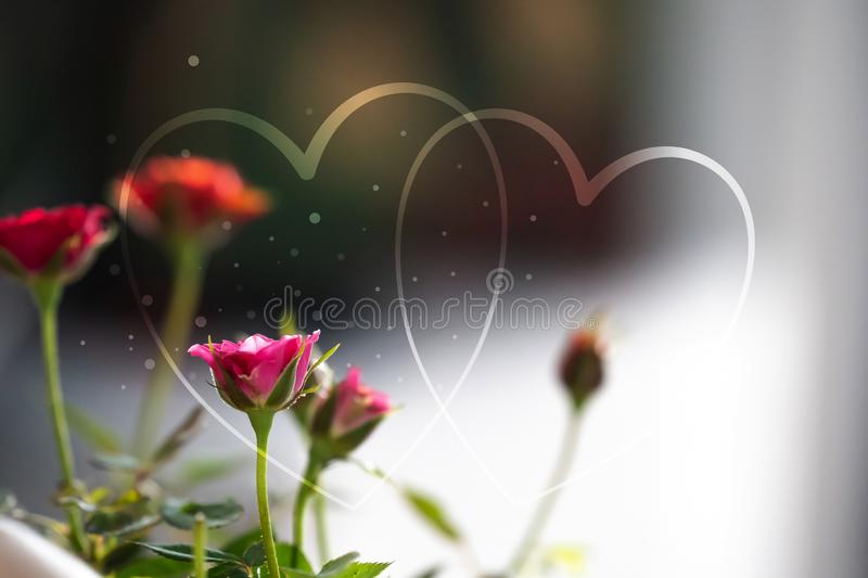 The Heart shapes abstract light glitter on rose flowers background in love concept for valentines day with sweet and romantic royalty free stock image