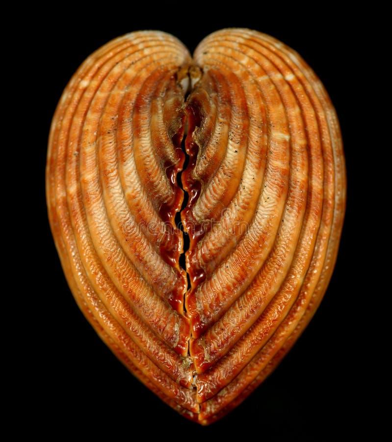 Heart snail shell