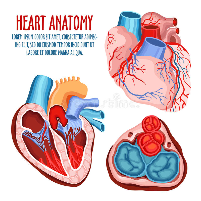 Heart structure, medical and anatomy poster stock illustration