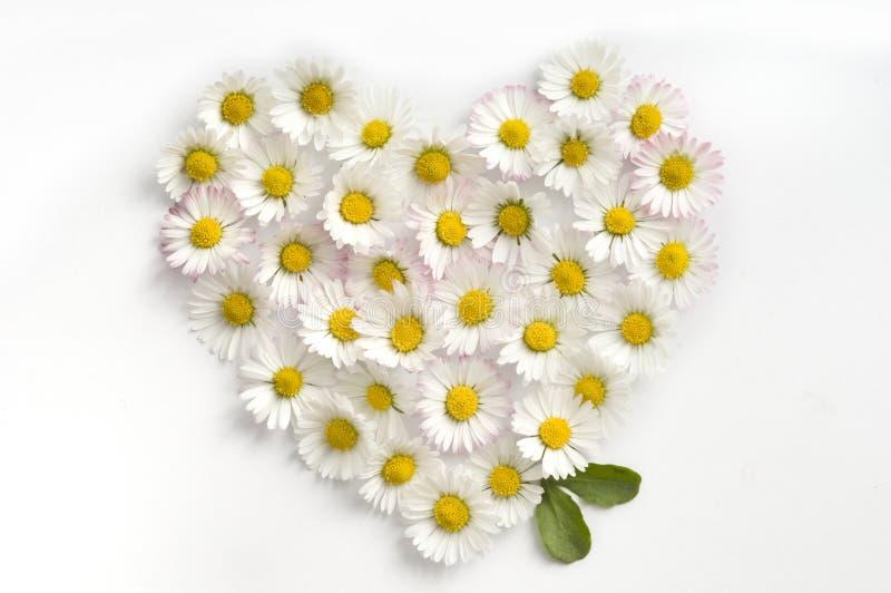 Heart symbol made of fresh white-yellow Daisy flowers on white background. Heart symbol made of fresh white-yellow Daisy flowers on white background. Love stock photo