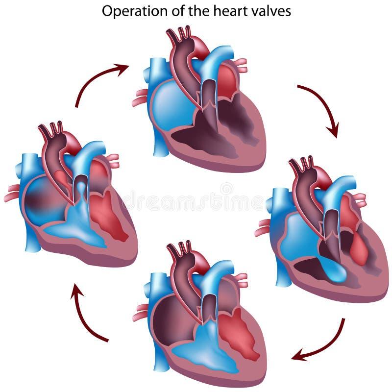 Heart valves operation vector illustration