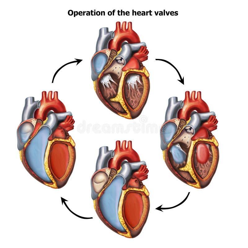 Heart-valves-operation royalty free illustration