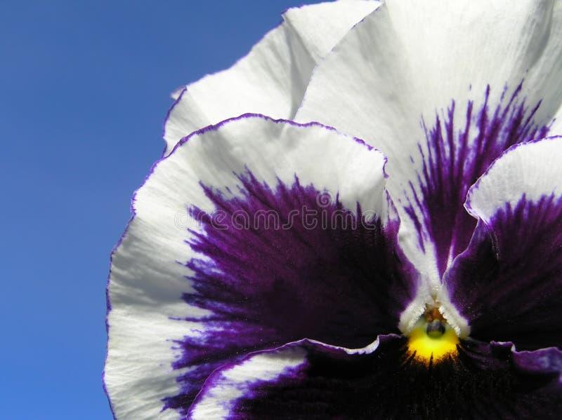 Download Heartease stock image. Image of summer, heartsease, beauty - 540943