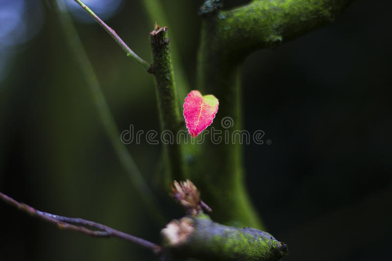Heartleaf stock foto's