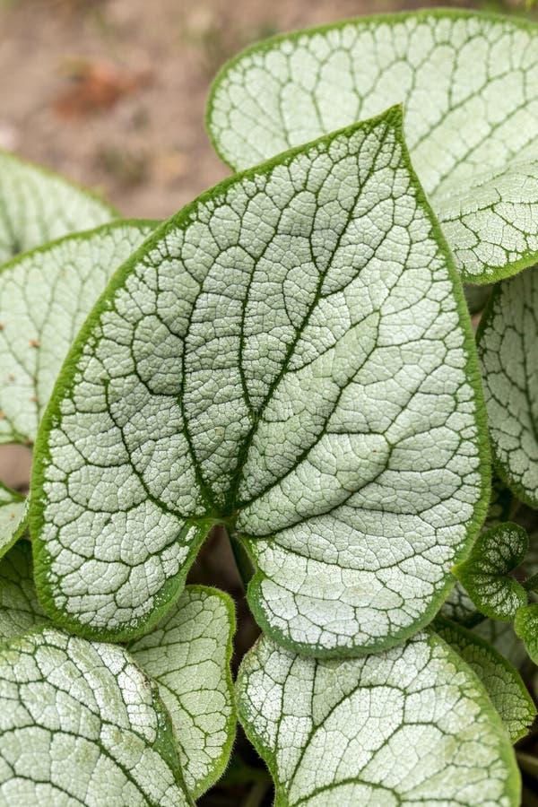 Heartleaf brunnera, Siberian bugloss Brunnera macrophylla `Jack Frost ` in garden.  stock images