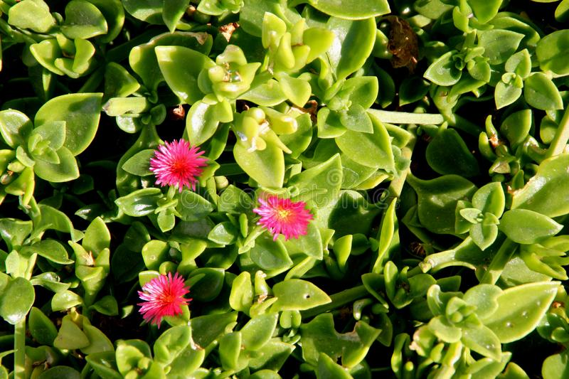 Heartleaf iceplant, Baby sun rose, Aptenia cordifolia. Mat forming succulent perennial herb with shining green cordate leaves and red flowers royalty free stock photos