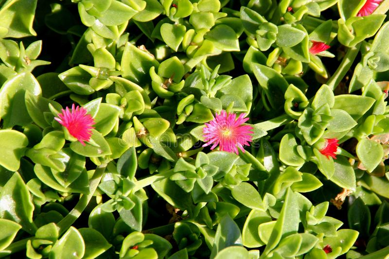 Heartleaf iceplant, Baby sun rose, Aptenia cordifolia. Mat forming succulent perennial herb with shining green cordate leaves and red flowers royalty free stock photography