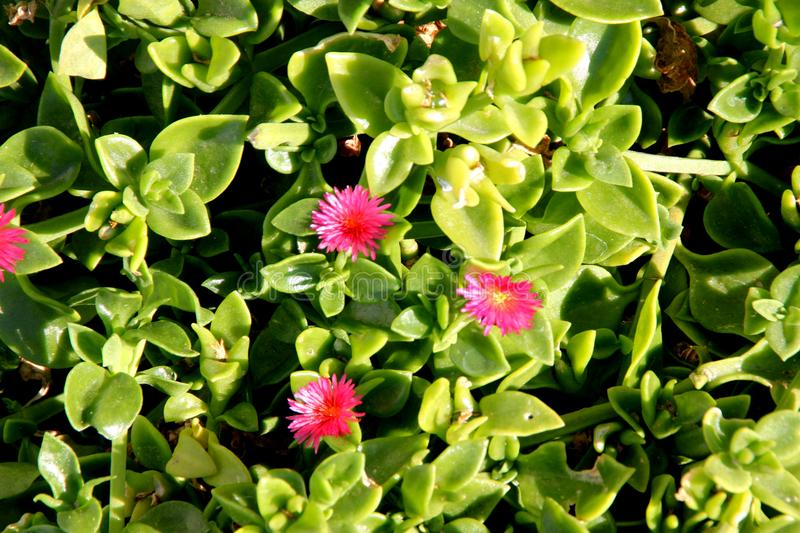 Heartleaf iceplant, Baby sun rose, Aptenia cordifolia. Mat forming succulent perennial herb with shining green cordate leaves and red flowers stock image