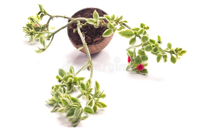 Heartleaf iceplant or baby sun rose plant aptenia cordifolia i. Solated on a white stock photo