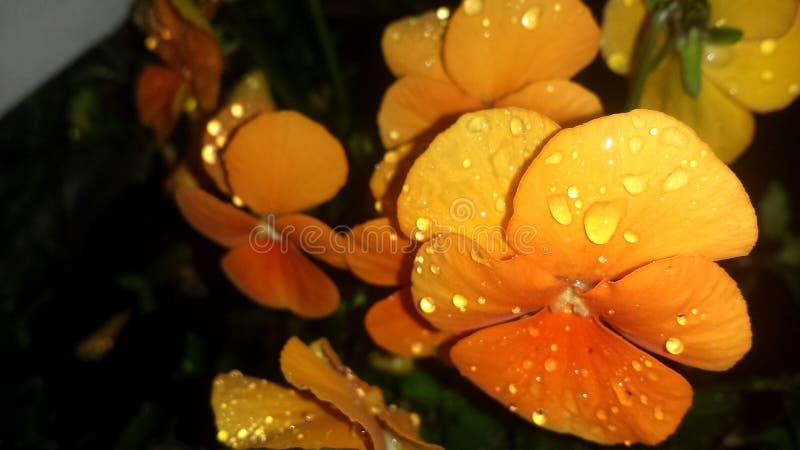 Heartsease orange photo stock