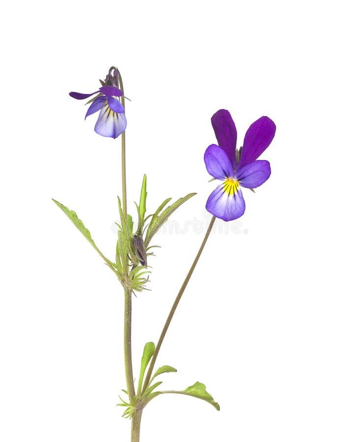 Download Heartsease (Viola Tricolor) Royalty Free Stock Photos - Image: 19579718