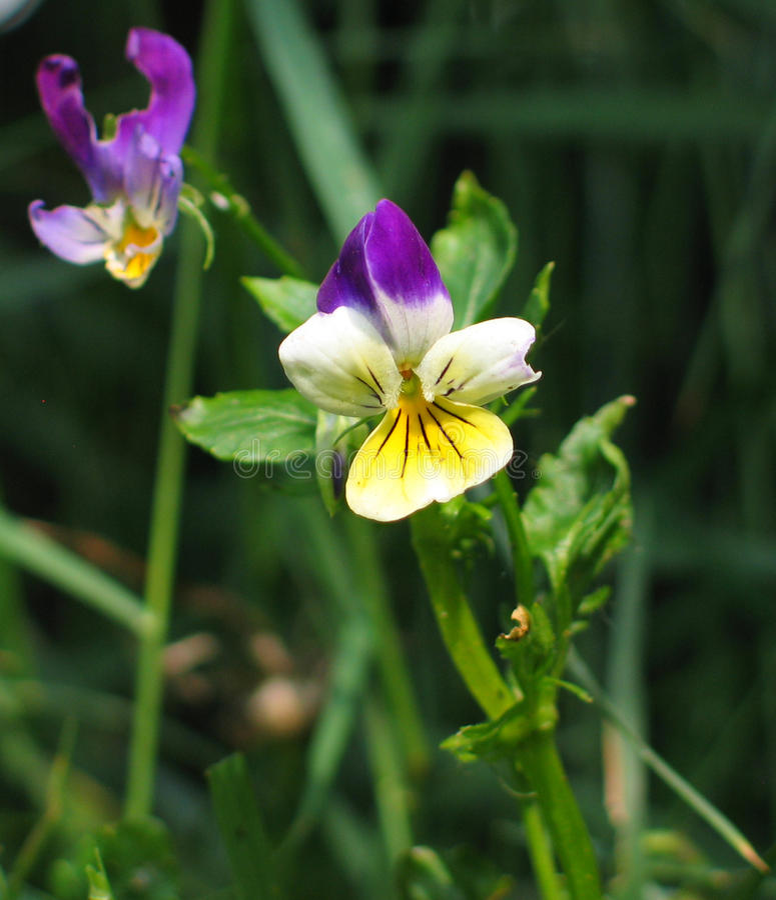Free Heartsease (Viola Tricolor) Stock Photography - 72705882