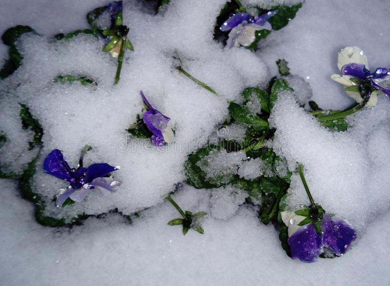 Heartsease viola tricolor flower in the snow stock photo