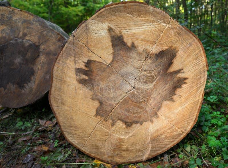 Heartwoodmuster in einem Baumstamm lizenzfreies stockfoto