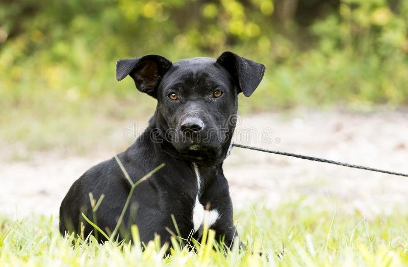 Skinny black Lab Pitbull mix breed dog adoption photograph. In heat female Pit Bull and Labrador mixed breed dog outdoors on leash. Thin and skinny, flakey skin stock image