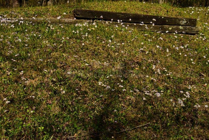 Heath Asters blanco A ericoides fotos de archivo
