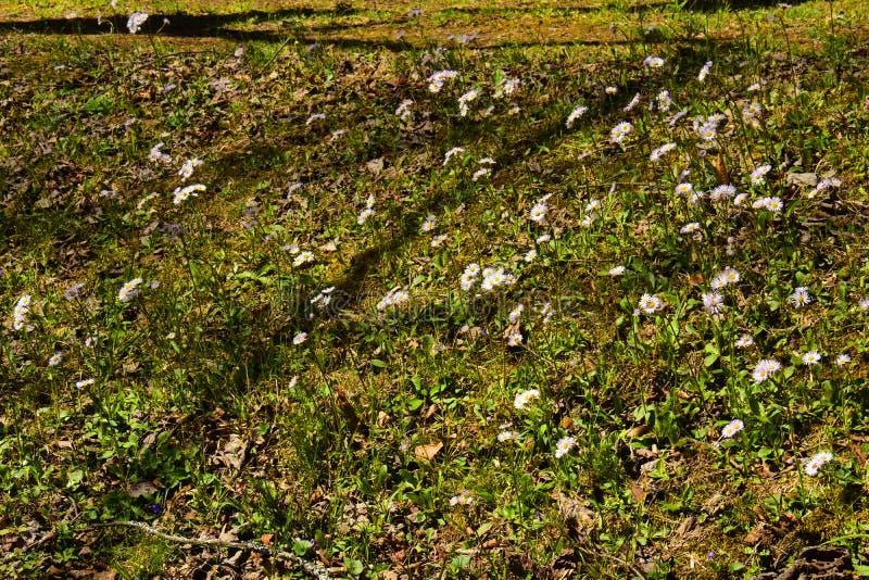 Heath Asters blanco A ericoides imagen de archivo libre de regalías