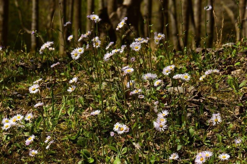 Heath Asters blanco A ericoides imagenes de archivo