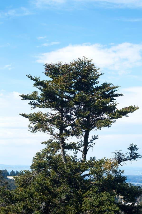 Heath Calluna vulgar e pinheiros na natureza no c?u azul fotos de stock royalty free
