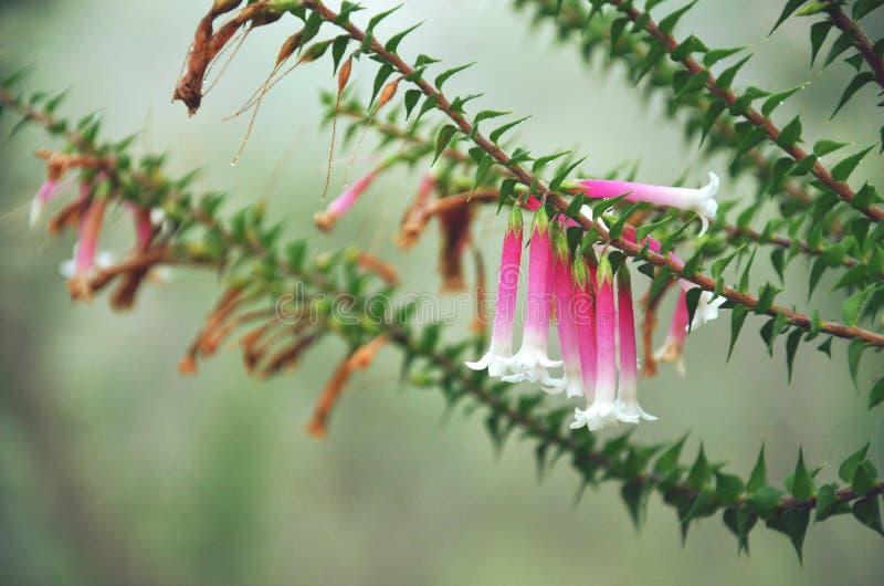 Heath fúcsia australiano floresce o longiflora de Epacris imagens de stock