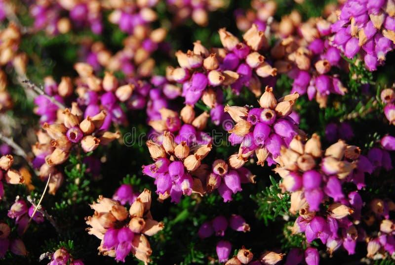 Heath flowers stock images