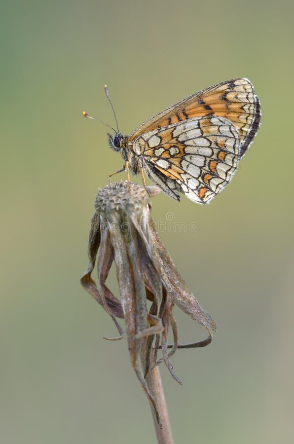 Heath Fritillary - Melitaea athalia arkivfoton