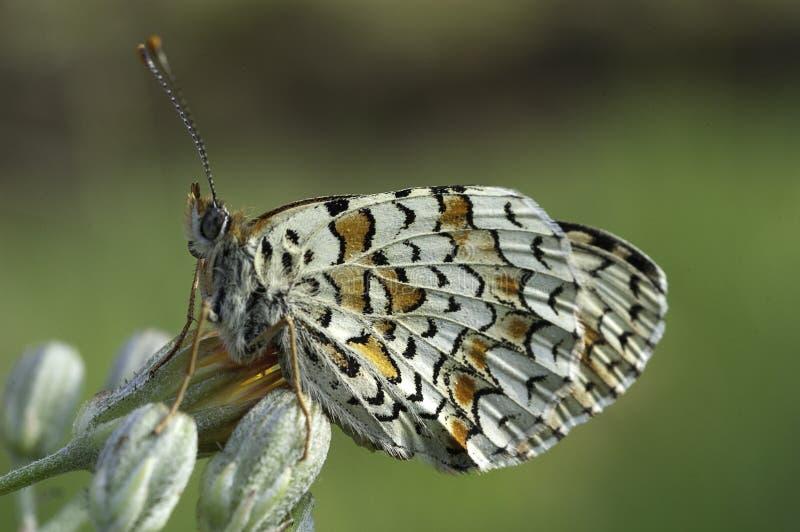 Heath Fritillary, Melitaea-athaliavlinder stock foto