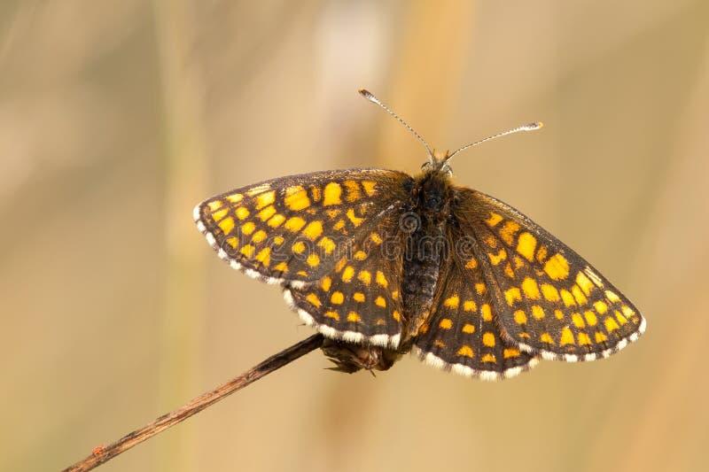 Heath-Fritillaryschmetterling, der auf einer trockenen Blume sitzt stockbilder