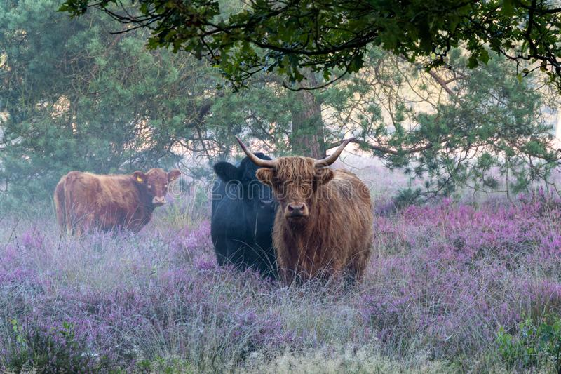 Heath Highlanders. During my morning trip to the heathland I was closely watched by these curious highlanders. Of course these friendly animals posed patiently royalty free stock photos