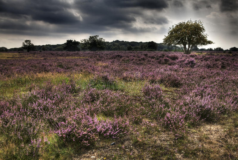 Download Heather stock photo. Image of forest, plant, green, netherlands - 20831930