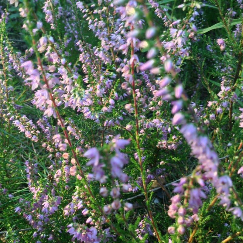 Heather Bloomed view 5 fotografie stock libere da diritti