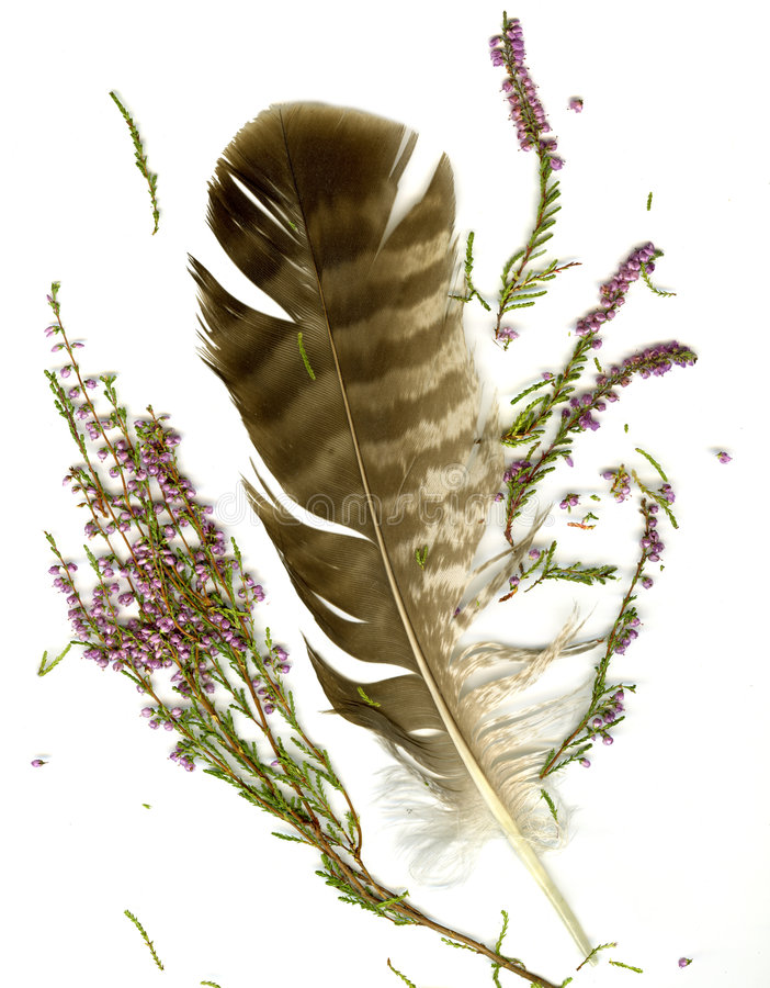 Heather bouquet and falcon plume. On white background royalty free stock photo