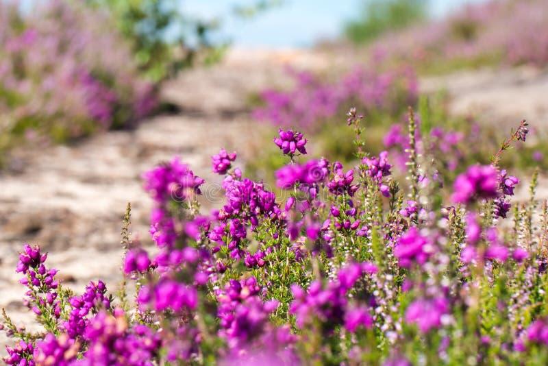 Heather Calluna vulgaris στο λουλούδι στοκ φωτογραφίες