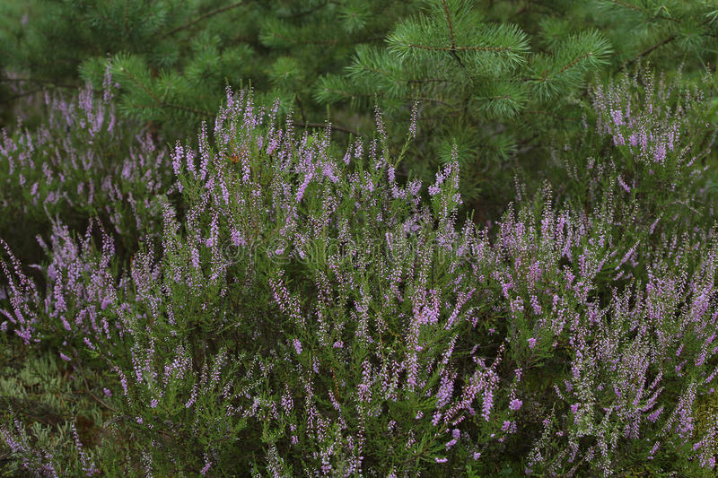 Heather, calluna vulgaris, blooming in forest. royalty free stock image