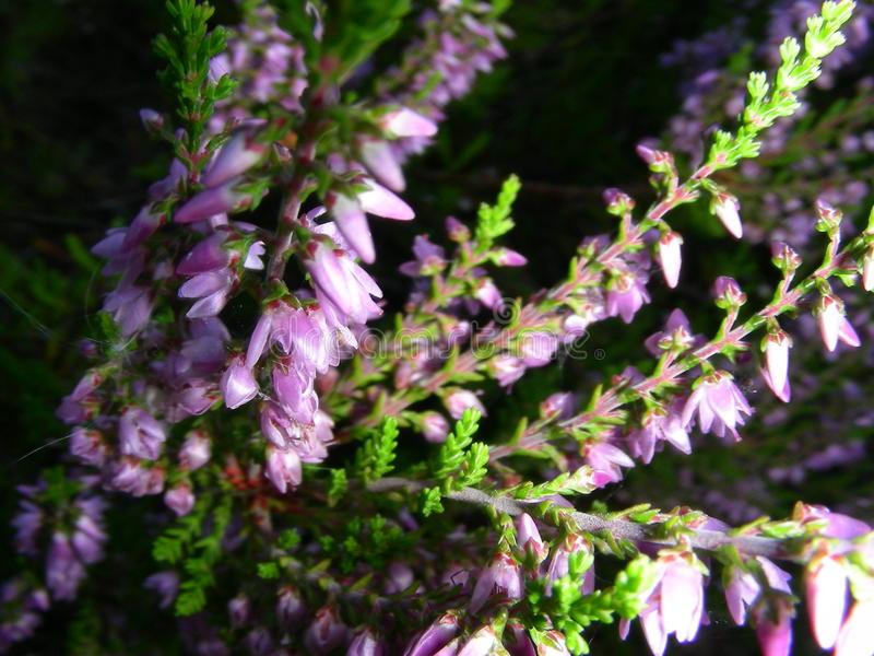 Heather flower can feel good royalty free stock photography