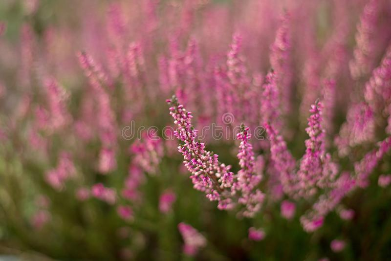 Heather flowers blossom.Calluna vulgaris flowers stock photos