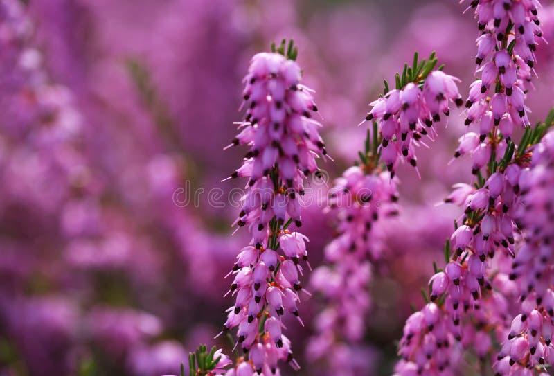 Heather Flowers. Calluna púrpura fotos de archivo