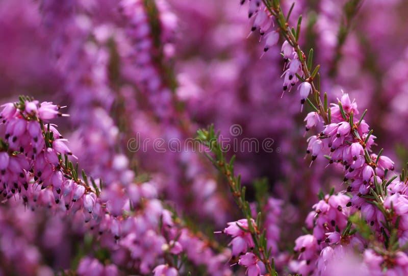Heather Flowers. Calluna púrpura imágenes de archivo libres de regalías