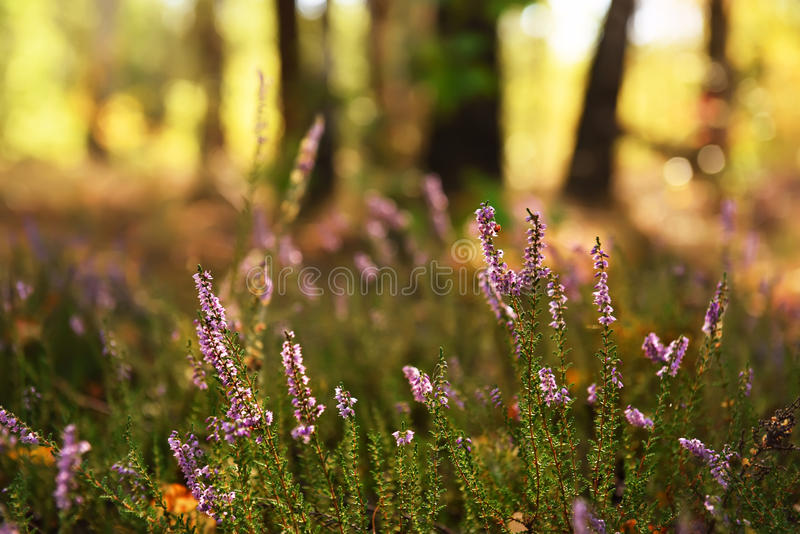 Heather flowers in the meadow royalty free stock image
