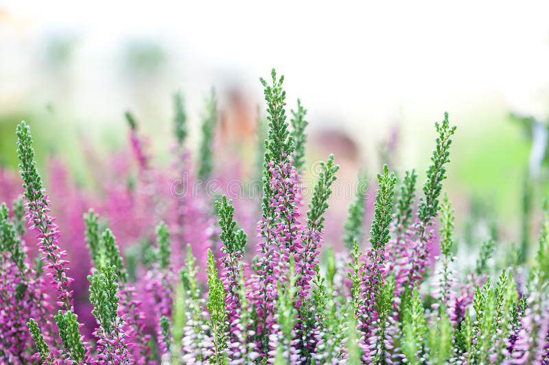 Heather flowers meadow landscape. Blooming small violet petal plants. Selective focus, shallow depth of field stock photos