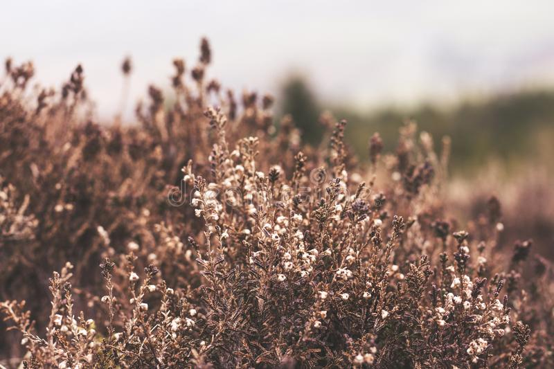 Heather. Growing on the side of a fell in focus with blurred background royalty free stock image