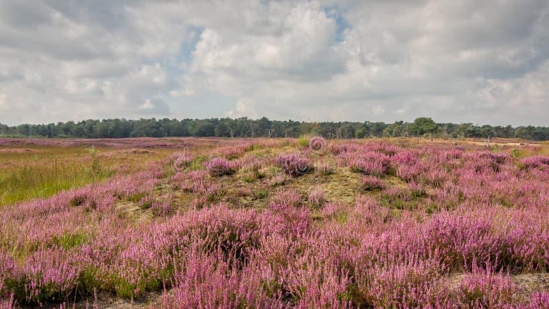 Heather in Kalmthout Belgium. View of the Kalmthout heather nature area, Belgium stock image