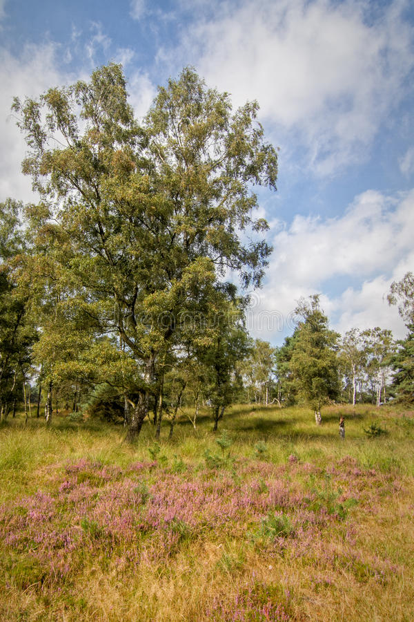 Heather in Kalmthout Belgium. View of the Kalmthout heather nature area, Belgium royalty free stock images
