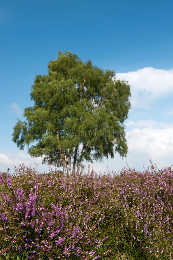 Download Heather Landscape Royalty Free Stock Photos - Image: 15689538