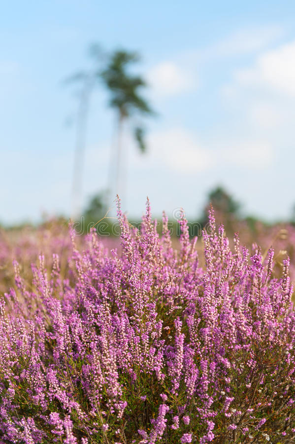 Download Heather in landscape stock image. Image of scenics, color - 33487283