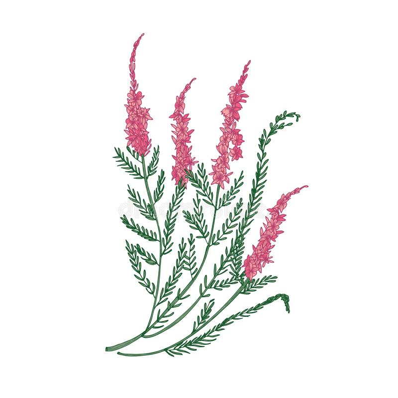 Heather or ling tender flower hand drawn on white background. Detailed drawing of flowering herbaceous plant or. Beautiful decorative herb. Elegant colorful vector illustration